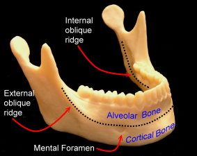 healthy-mandible